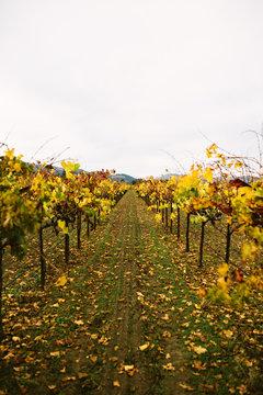 Vineyards - Digital File