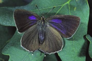 Oak hawk moth (Quercusia quercus)