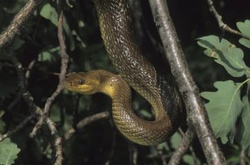 Aesculapian Snake (Elaphe longissima or Zamenis longissimus), Leithagebirge (Leitha Range), Austria, Europe