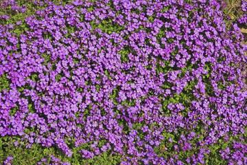 Large-flowered Aubrieta, Rock Cress or Rockcress (Aubrieta x cultorum), flowering, in bloom