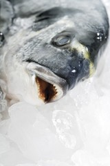 A gilthead seabream, raw on crushed ice, close-up