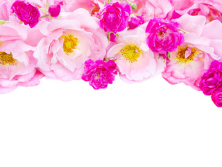 Pink curly roses and vibrant pink roses isolated on white
