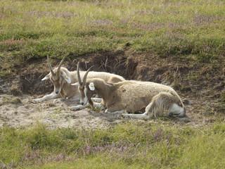 wild lebende Ziegen