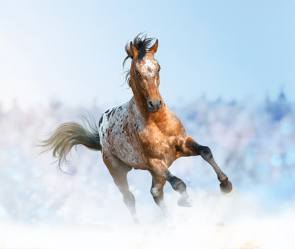 Beautiful appaloosa stallion running gallop
