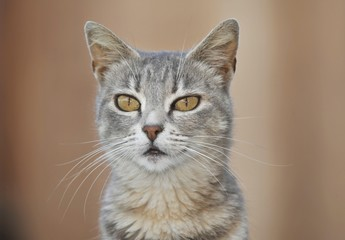 Young grey-tigered cat, portrait