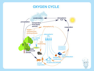 Scheme of the Oxygen cycle, flats design stock vector illustration