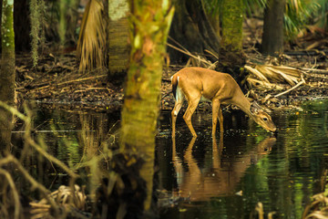 Deer in the swamps of Myakka River State Park, Florida