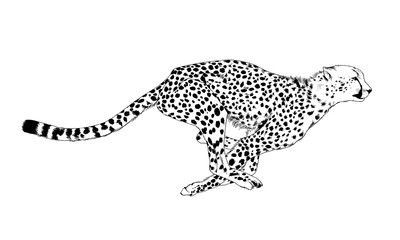 Cheetah running striker drawn in ink by hand on a white background