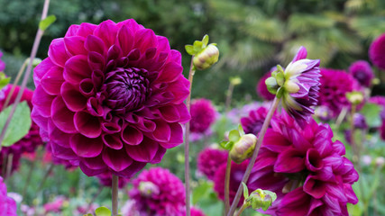 Deurstickers Dahlia Dahlia close-up on a blurry very beautiful background.