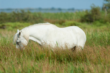 Grazing white horse in Camargue National Park, France