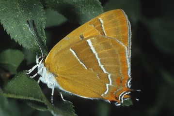Brown Hairstreak (Thecla betulae), Lycaenidae family of Gossamer-winged Butterflies, shot of outer wings
