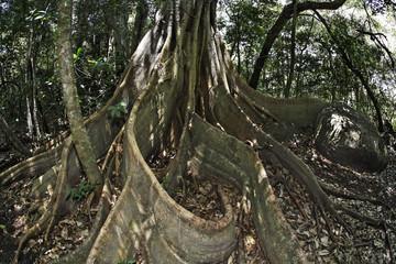 Buttress roots of strangler fig (Ficus subgenus Urostigma), Rincon de la Vieja National Park, Guanacaste, Costa Rica, Central America