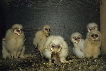 Barn Owls (Tyto alba), in a nesting box with mouse
