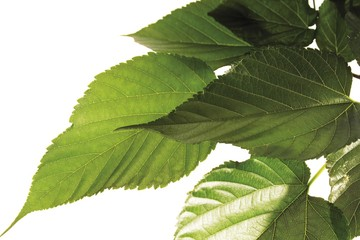 Mulberry leaves (Morus)