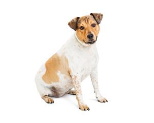 Friendly Mixed Breed Medium Size Dog Sitting on White