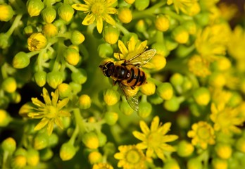Bee on the small flowers of aeonium