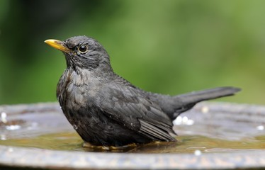 Female Blackbird (Turdus merula) bathing