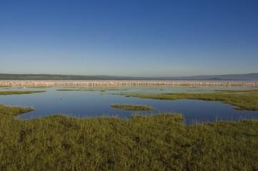 Greater Flamingos (Phoenicopterus ruber) and Lesser Flamingos (Phoeniconaias minor), Lake Nakuru National Park, Kenya, Africa