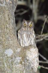 Madagascar or Malagasy Scops Owl (Otus rutilus), Madagascar, Africa