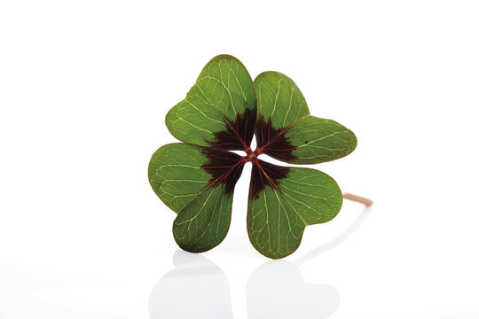 Four-leaf or lucky clover