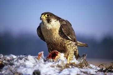 Peregrine Falcon (Falco peregrinus) with pigeon kill, prey