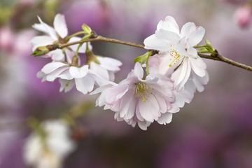Higan Cherry or Autumn Cherry (Prunus subhirtella) blossoms