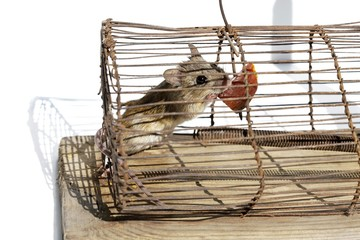 House mouse (Mus musculus), in a live-trap feeding on bait