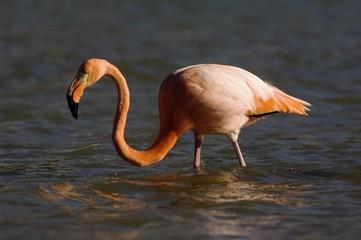 Greater Flamingo or American Flamingo (Phoenicopterus ruber), Floriana Island, Galapagos Islands, UNESCO World Heritage Site, Ecuador, South America