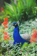 A beautiful peacock sitting in flowers