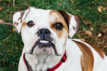 A pied English Bulldog puppy portrait looking at the camera