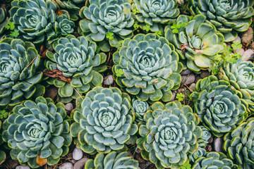 Top view of a lot of succulent cactus plants