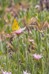A clouded yellow butterfly on a pink flower in Teide national park in Tenerife