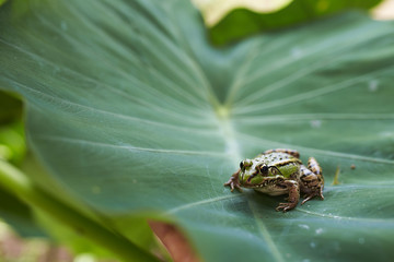 green frog in leaf