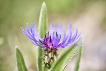 Macro fotografia di un fiore viola del cardo selvatico