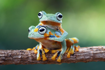 Tree frog, Flying frog, rhacophorus