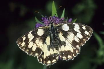 Marbled White Butterfly (Melanargia galathea) sucking nectar