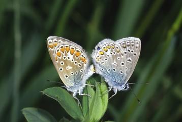 Common Blues (Polyommatus icarus) coupling