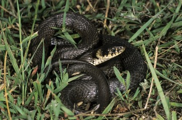 Grass Snake or Ringed Snake (Natrix natrix), Colubridae family