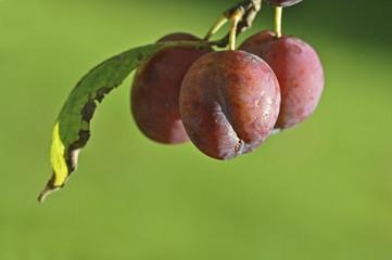 Organic plums, unsprayed