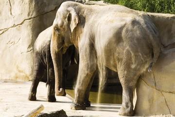 Asian Elephants, Indian Elephants (Elephas maximus)