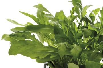 Rucola or Garden Rocket (Eruca sativa)