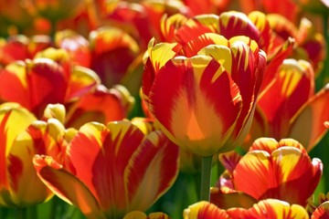 Red-yellow Darwin-Hybrid-Tulips (Tulipa cultivar), species Banja Laka
