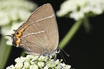 White-letter Hairstreak Butterfly (Satyrium w-album)