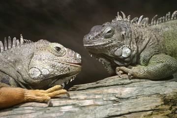 Two Green Iguanas (Iguana iguana), Duisburg Zoo, North Rhine-Westphalia, Germany, Europe