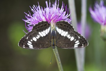 Eurasian White Admiral Butterfly (Limenitis camilla) on a flower