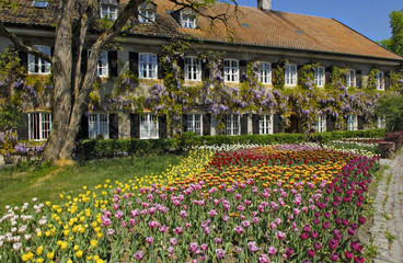Garden Tulips (Tulipa) and Chinese wisteria (Wisteria sinensis), garden in Aying, Bavaria, Germany, Europe