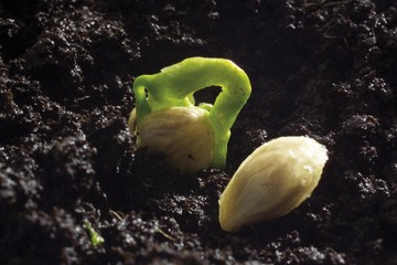 Lemon sprout (Citrus x lemon) peeking out of soil