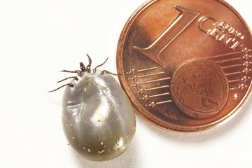 Size comparison: 1-cent Euro coin and an engorged tick