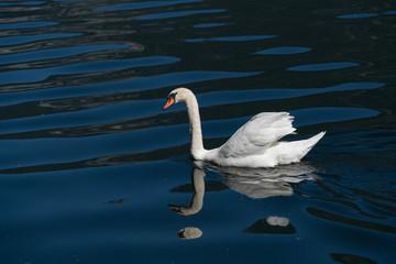 Sunlit Mute Swan on Lake Hallstatt