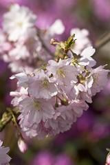 Flowering Weeping Higan Cherry or Autumn Cherry (Prunus subhirtella), blossoms